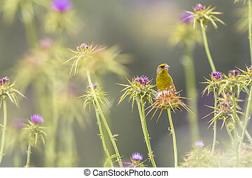 Greenfinch eating the seeds of Milk Thistle - Greenfinch...