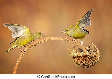 greenfinch fighting