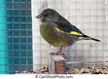 Greenfinch is sitting at the wood