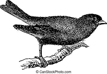 Greenfinch or Carduelis chloris, vintage engraving -...