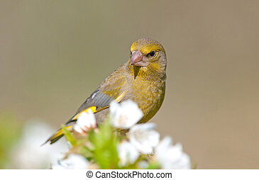Greenfinch, selective focus on head, shallow depth of field