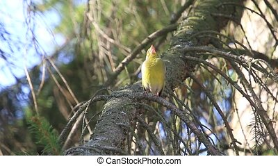 greenfinch sings sitting on a spruce branch