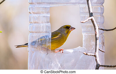 Greenfinch sitting on a bird feeder. Big plastic bottle used as feeder for birds