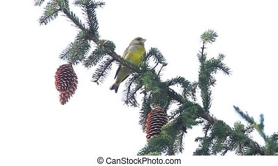Greenfinch sitting on a spruce branch with cones