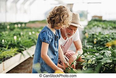 greenhouse., シニア, 祖父, 小さい, 女の子, 園芸