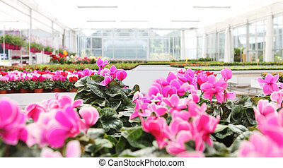 greenhouse background full of cyclamen flower plants, panoramic image with copy space