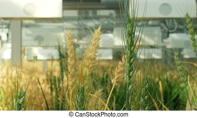 Greenhouse experimental technology for scientific research of barley Hordeum vulgare and wheat Triticum durum, genetic science model material for breeding, experiment area and open top chambers