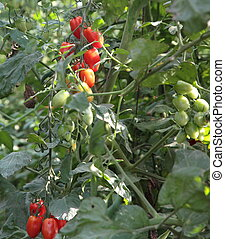 greenhouse for the cultivation of tomatoes 5