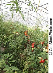 greenhouse for the cultivation of cluster tomatoes 8
