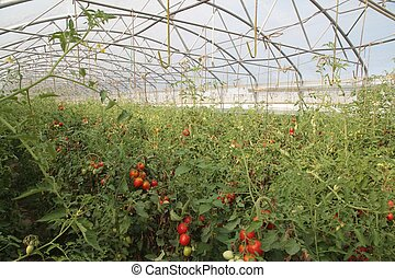 greenhouse for the intensive cultivation of cluster tomatoes and plum tomato type in Italy 6
