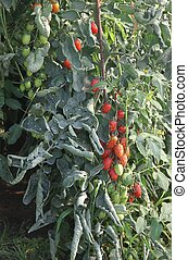 greenhouse for the intensive cultivation of cluster tomatoes and plum tomato type in Italy 4