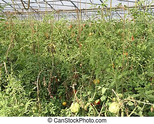 greenhouse for the intensive cultivation of cluster tomatoes and cherry tomatoes in Italy 10