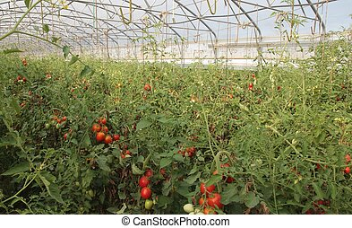 greenhouse for the intensive cultivation of cluster tomatoes and cherry tomatoes in Italy 11