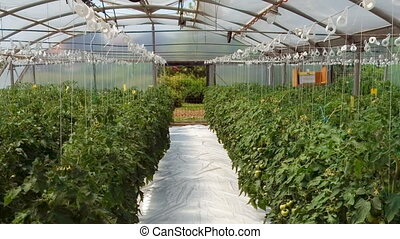 Greenhouse - Hydroponic cultivation of tomatoes in...