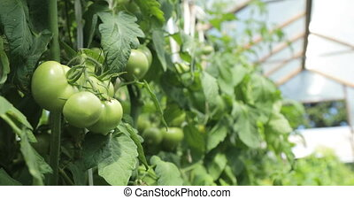 Greenhouse tomato brushwood with green tomatoes in it