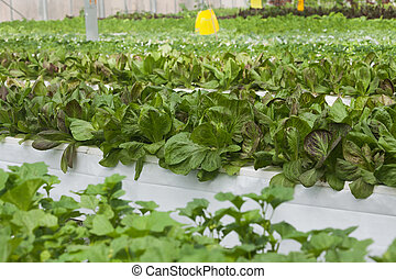 Greenhouse vegetable