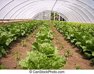 greenhouse vegetable garden lettuce