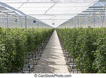 Greenhouse in holland with cultivated tomatos