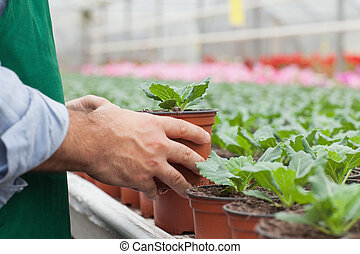 Greenhouse worker handling seedlings - Greenhouse worker...