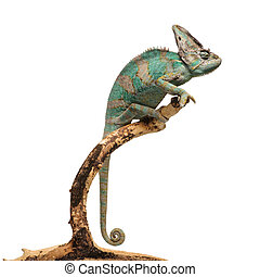 Greenish brown chameleon on branch isolated on white...