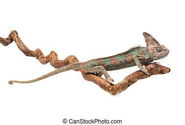 Greenish brown chameleon straightened on branch