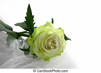 Greenish rose on a white fabric