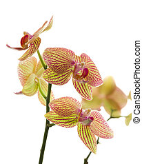 Greenish-yellow orchids with red stripes