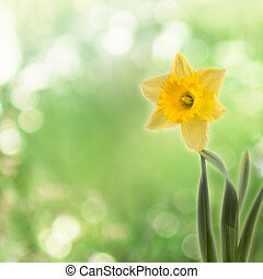 Greeting card with a bouquet of daffodils on the abstract background with bokeh effect