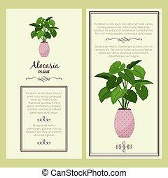 Greeting card with alocasia planton