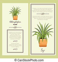 Greeting card with chlorophytum plant