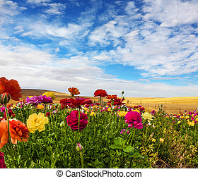 Blooming kibbutz field - Greeting postcard. Multi-colored...