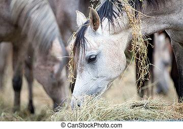 gregge cavalli, mangiare, fieno