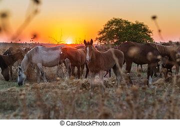 gregge cavalli, riposare, secondo, uno, corsa, in, il, pasture., magico, tramonto, in, il, fondo.