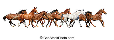 gregge, di, cavalli selvaggi, correndo, isolato, bianco