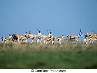 gregge, di, gazelles, su, erboso, pianura