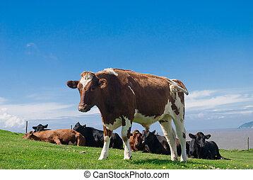 gregge, di, giovane, bullocks, in, uno, erboso, field.