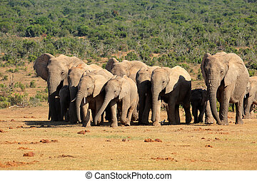 gregge, elefante africano