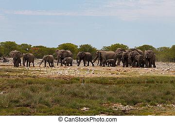 gregge, elefanti