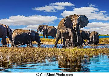 gregge elefanti, venire, bere