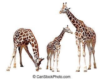 gregge, giraffe