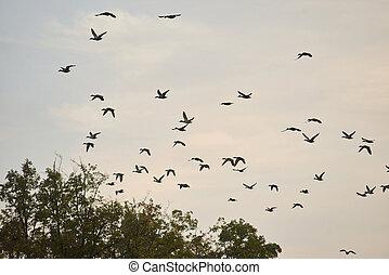 gregge, sera, uccelli, sky.