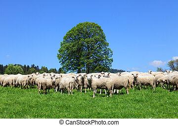 gregge, sheeps