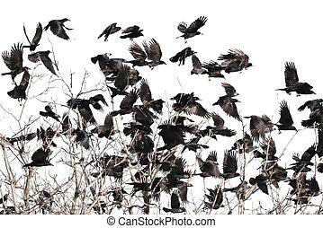 gregge uccelli, isolato, bianco, fondo, e, struttura, (, torre, e, jackdaw, )