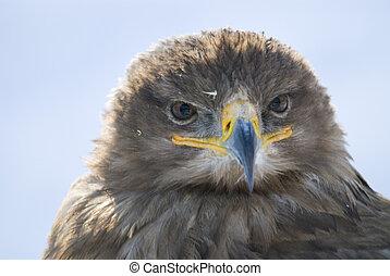 Greifvogelportrait