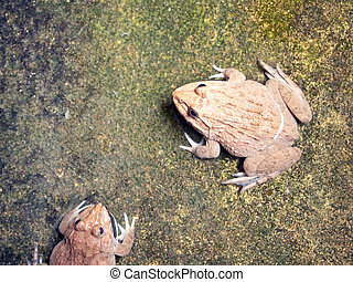 grenouilles, ferme, groupe