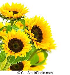 grens, op, zonnebloemen, witte achtergrond