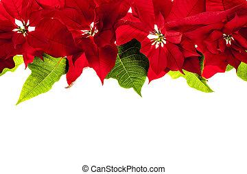grens, poinsettias, kerstmis, rood