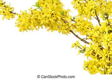 grens, van, gele, lentebloesems