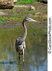 Gret Blue Heron in pond