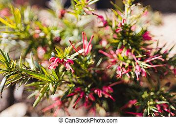 grevillea, rouges, extérieur, australien, ensoleillé, arrière-cour, plante, indigène